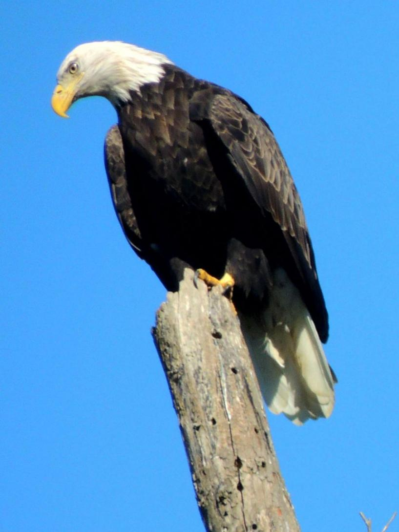 Bald eagle on a tree branch